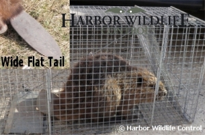Beaver Captured in Live Trap