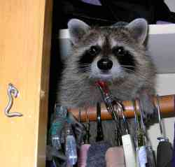 Raccoon in Closet