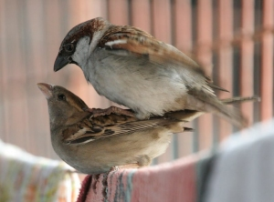 House Sparrow Removal