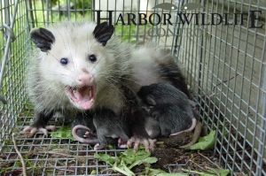 Captured Opossum with Young
