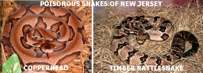 Poisonous Snake: Northern Copperhead and the Timber Rattlesnake