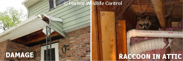 Raccoon Damage to Fascia and Soffitt